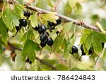 wild golden currant. small or... | Shutterstock . vector #786424843
