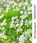 Small photo of Flowers stellaria holostea (starwort, stitchwort, chickweed) in sun light, blooming in spring in forest