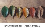 Small photo of Gradient leaves on different stage autumns senescence on empty wooden