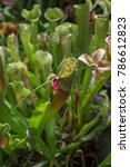 foliage of exotic carnivorous...   Shutterstock . vector #786612823