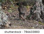 iberian lynx  lynx pardinus  in ...   Shutterstock . vector #786633883