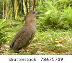 Malaysian Night Heron A Bird