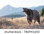 brown bear in the mountains | Shutterstock . vector #786941653