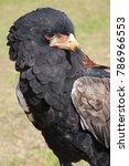 Small photo of closeup of head and torso bird of prey, Bateleur, Terathopius ecaudatus