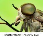 Small photo of close up Horsefly, Tabanidae insect hunter