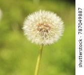 Small photo of Common dandelion clock - Taraxacum officinale
