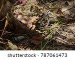 african spurred tortoise at... | Shutterstock . vector #787061473