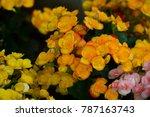 beautiful violet flowers... | Shutterstock . vector #787163743