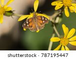 Small photo of American Snout butterfly on yellow flowers