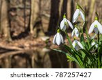 Snowdrop Flowers In Spring...