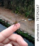 Small photo of Dragonfly (Odonata, Chile)