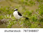 a grey backed fiscal in africa... | Shutterstock . vector #787348807