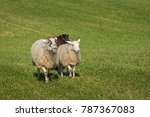 Small photo of Three Sheep (Ovis aries) Saunter In - at sheep dog herding trials