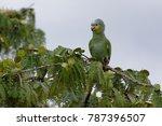 Small photo of Orange-winged Amazon (Amazona amazonica) in Cuyabeno Wildlife Reserve (Amazonia, Ecuador)