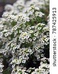 Small photo of Closeup of white Alysium flowers