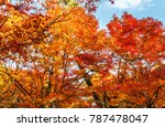 maple tree in autumn beautiful... | Shutterstock . vector #787478047
