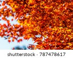 red maple leaves fall on the... | Shutterstock . vector #787478617