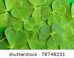 a texture from clover leaves - stock photo