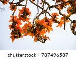 branch of blossoming bombax... | Shutterstock . vector #787496587