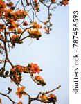 branch of blossoming bombax... | Shutterstock . vector #787496593