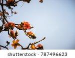 branch of blossoming bombax... | Shutterstock . vector #787496623