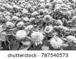big smile sunflower are style... | Shutterstock . vector #787540573