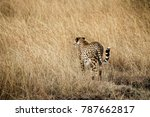 Small photo of Wild Cheetah - Scientific name: Acinonyx jubatus raineyi - walking through tall grass, barely visible well camouflaged. With its lightly built, slender form the cheetah is the fastest on the planet