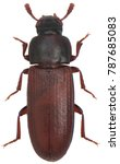 the red flour beetle tribolium... | Shutterstock . vector #787685083