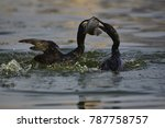 Two Little Cormorant Hunting...