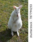 Small photo of australian albino kangaro