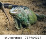 green iguana on the ground. | Shutterstock . vector #787964317