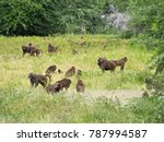 a troop of baboons in a... | Shutterstock . vector #787994587