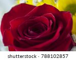rose of dark red color close up ... | Shutterstock . vector #788102857