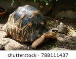 portrait of radiated tortoise... | Shutterstock . vector #788111437