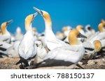 Gannet Birds Colony  Cape...