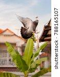 homing pigeon bird flying at... | Shutterstock . vector #788165107