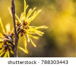 Witch Hazel Blossom  Detail Shot