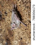 Small photo of African sheath-tailed bat (Coleura afra) in a cave, cosatal Kenya