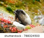 Marmot At Mount Rainier...