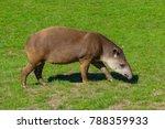 Lowland Tapir  Tapirus...