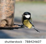 Great Tit At Bird Table