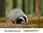 badger in forest  animal nature ... | Shutterstock . vector #788449597
