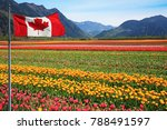 fields of tulips in british... | Shutterstock . vector #788491597