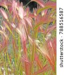 Small photo of Foxtail Barley - A close-up image of colorful Foxtail barley seed heads back-lite by sun light