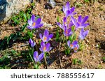 Crocus Flower Blossom In Sprin...