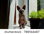 bald hairless sphinx cat ... | Shutterstock . vector #788566687