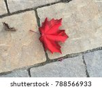 a bright red maple leaf laying... | Shutterstock . vector #788566933