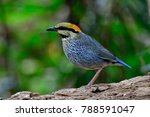 female of blue pitta  hydrornis ... | Shutterstock . vector #788591047