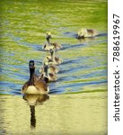 Geese Family Swimming