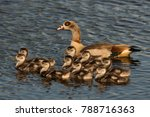 Family Of Egyptian Goose Geese...